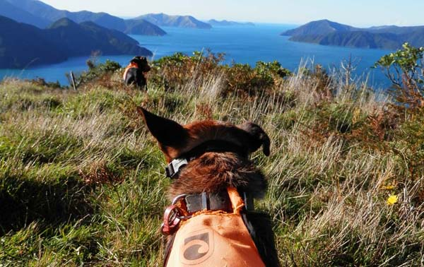 predator detection dogs marlborough sounds